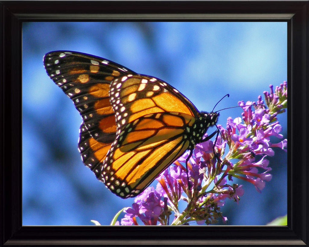 Monarch Butterfly on Lillys, Wall Art 8x10 Framed Photo