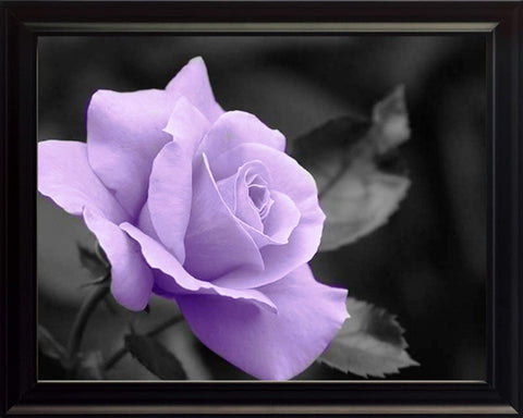 Black and White With a Purple Rose, Wall Art 8x10 Framed Photo