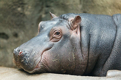 Big Hippo (Hippopotamus) 8x10 High Quality Photo Picture