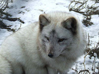 Polar White Fox Portrait 8x10 High Quality Photo Picture