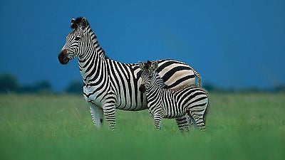 Baby Zebra 8x10 High Quality Photo (Brand New)
