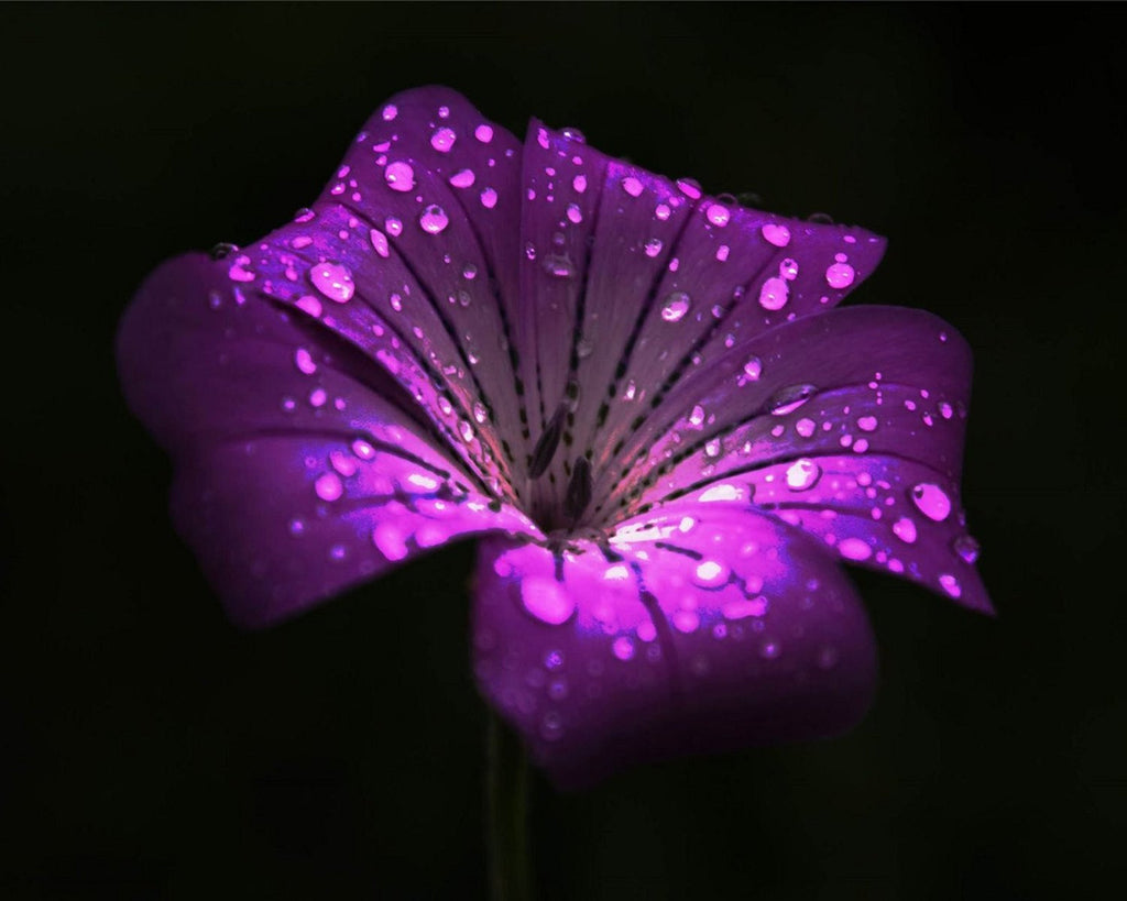 Purple Flower with Water Drops, Wall Art 8x10 Photo