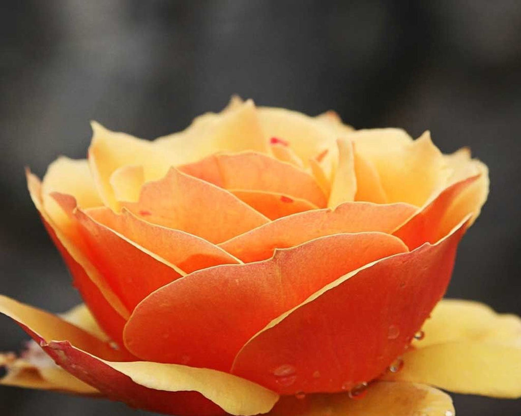 Orange Rose, Wall Art 8x10 Photo