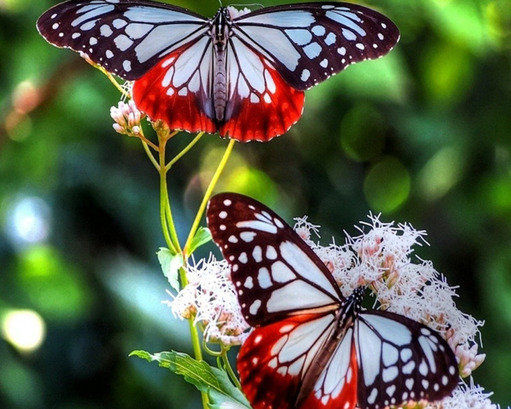Red and Blue Butterflies, Wall Art 8x10 Photo