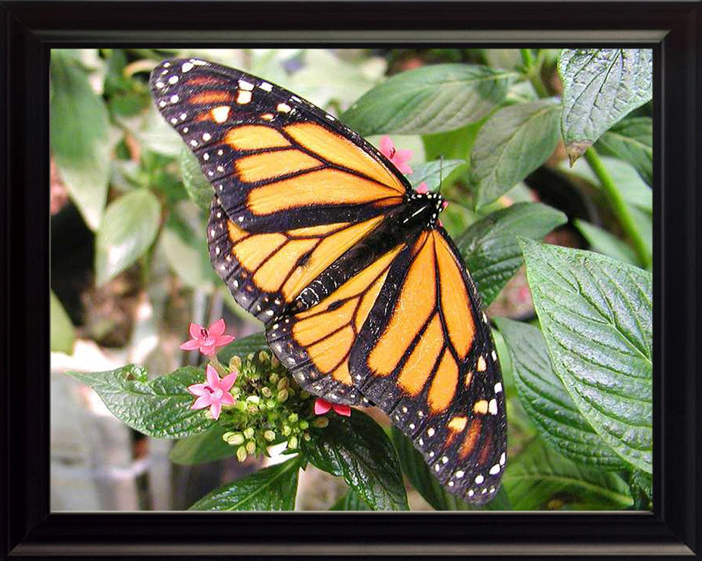 Monarch Butterfly, Wall Art 8x10 Framed Photo