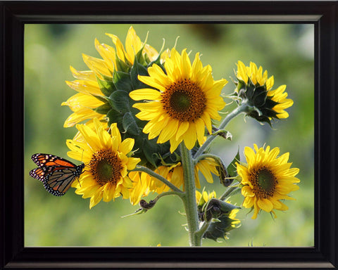 Butterfly with a Sunflower, Wall Art 8x10 Framed Photo