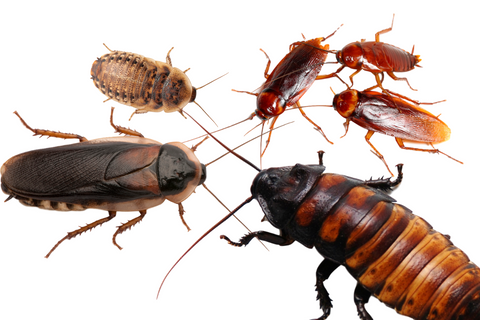 different kinds of roaches for reptiles