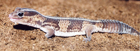 african fat-tailed gecko care
