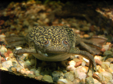 African clawed frog