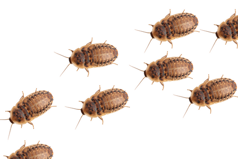 dubia roach nymphs  - featured image on article about dubia roaches as cuc