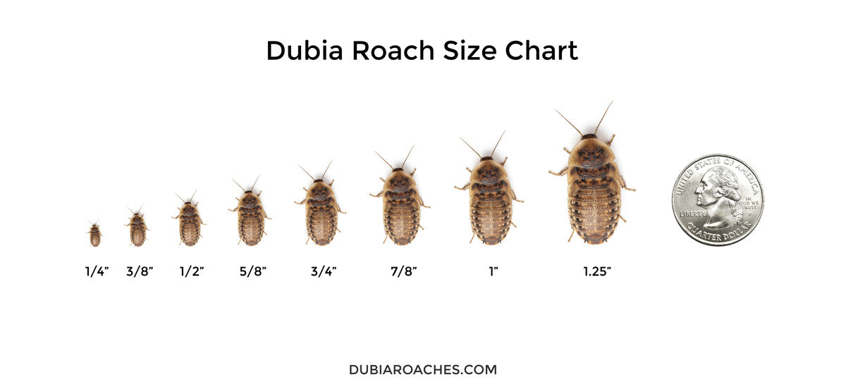 Dubia Roaches For Sale » DubiaRoaches com