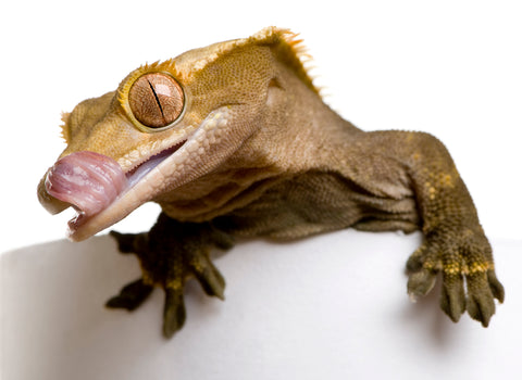 what do crested geckos eat