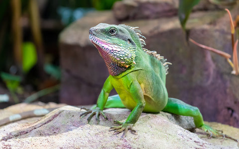 chinese water dragon - what do chinese water dragons eat?