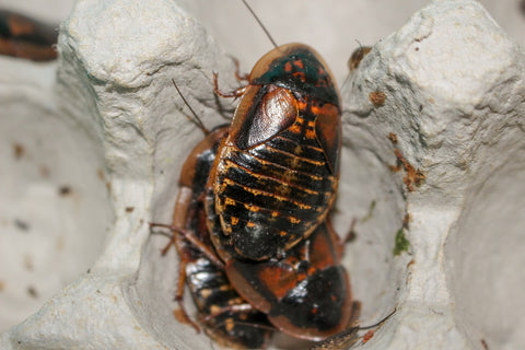 dubia roaches on egg flats