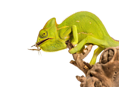 feature image for article on the worst feeder insects - chameleon eating bug