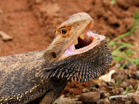 are bearded dragons aggressive