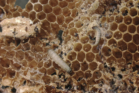 what do waxworms eat - photo of pest waxworms in a beehive