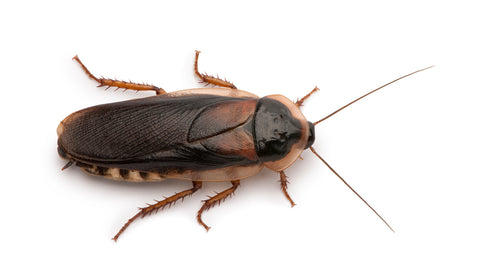 dubia roach nutrition facts