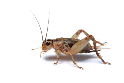 brown house cricket, Acheta domesticus