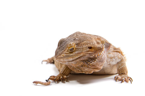 reptile obesity - fat bearded dragon and mealworm