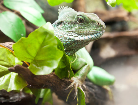 asian water dragon - how to prevent reptile parasites