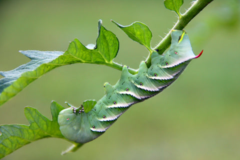 what do hornworms eat - hornworm on plant