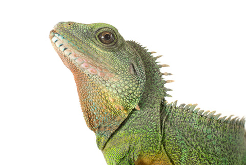 Chinese water dragon, male
