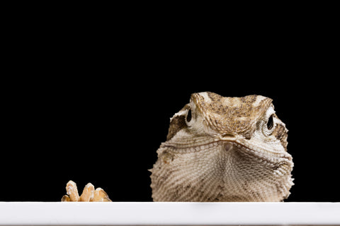 can bearded dragons have baby food