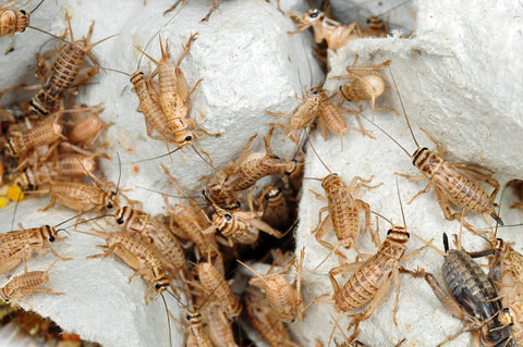 crickets on cardboard - how to find high-quality feeder insects