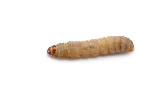 waxworm on white background