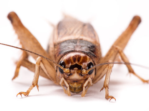 front view of cricket - do crickets give reptiles parasites