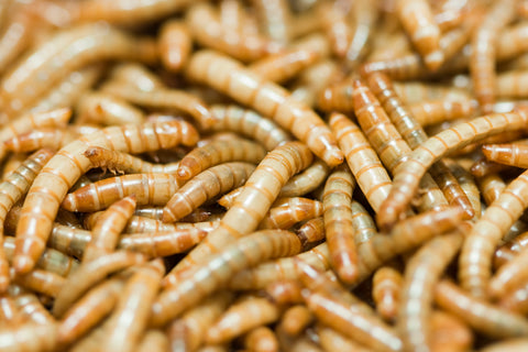 photo of mealworms - mealworms as cuc for bioactive