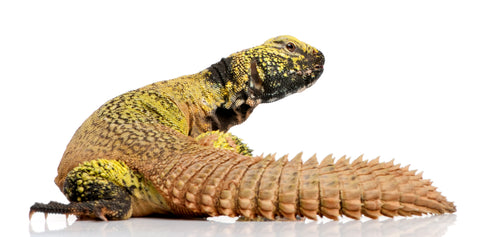what do uromastyx eat