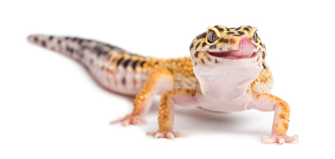 what do leopard geckos eat