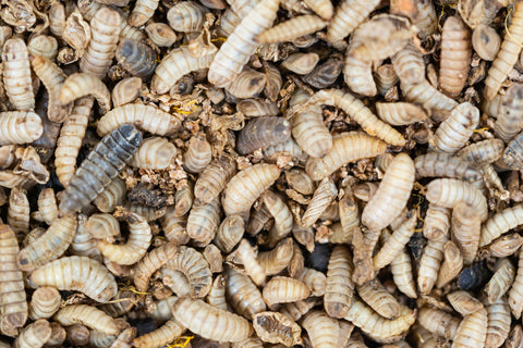 what do black soldier fly larvae eat - image of a mass of bsf larvae