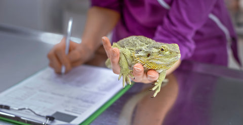 bearded dragon getting checked for reptile parasites at the vet