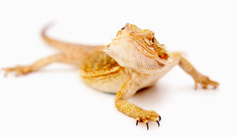 what is brumation for bearded dragons