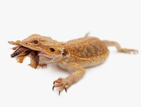 best insects for bearded dragons