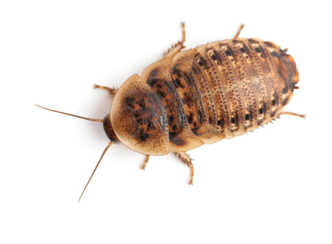 why dubia roaches
