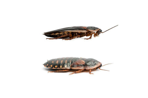 Adult Dubia Roach Pairs - DubiaRoaches.com