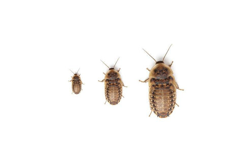 Get a Free Sample of Dubia Roaches! - DubiaRoaches.com