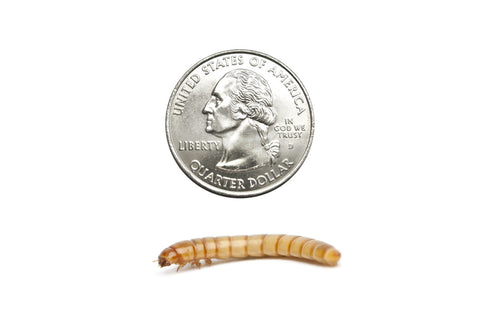 Giant Mealworms (Cupped) - DubiaRoaches.com