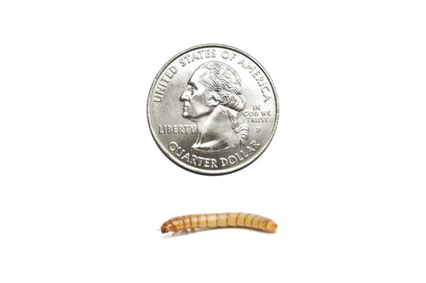 Large Mealworms (Cupped) - DubiaRoaches.com