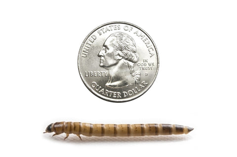 Large Superworms (Cupped) - DubiaRoaches.com