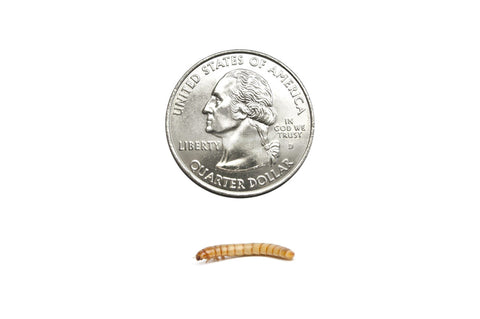 Medium Mealworms (Cupped) - DubiaRoaches.com