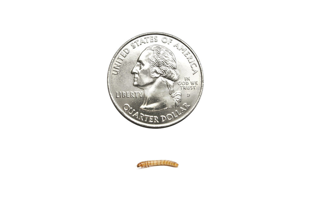 Small Mealworms (Cupped) - DubiaRoaches.com
