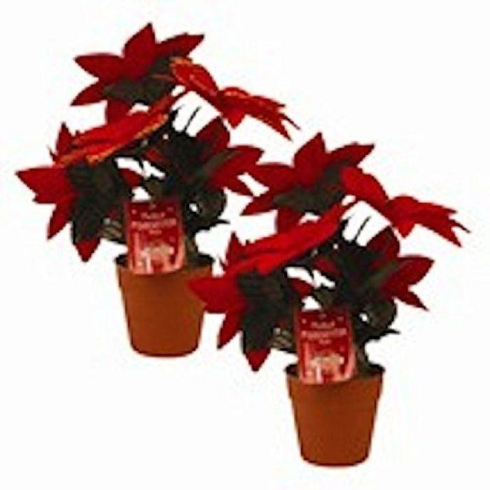 Potted Poinsetta Plant
