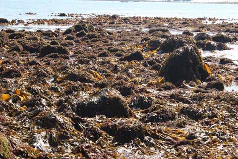 Wild Atlantic Seagarden, protect Irish seaweed