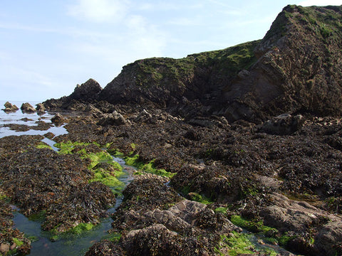Different seaweeds occur in different tidal zones