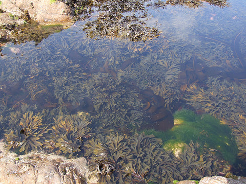 Seaweeds grow bigger in sheltered rock pools than exposed areas